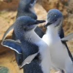 Penguin Island tours with Perth Platinum Tours